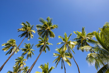 Palm tree and blue sky on Hawaii island