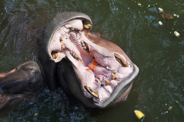 Hippo with an open mouth in the pond in Thailand