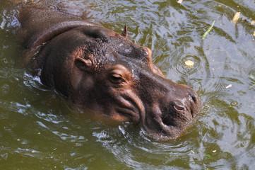 A hippopotamus swims in a pond in Thailand