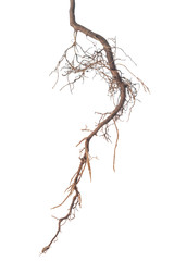 roots of tree is isolated on white background, close up