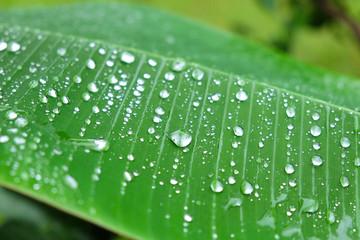 Rain drop, Dew droplets on Banana leaf