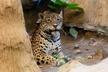 Aluminium Prints Leopard Portrait of a leopard at zoo in Thailand