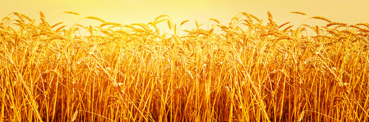 Ripe ears of barley in field during harvest close up. Food ingredients. Agriculture summer landscape. Rural scene. Panoramic image