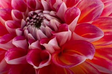 Poster de jardin Dahlia Aster flower head closeup background