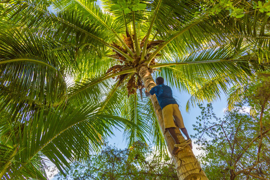 Adult male climbs tall coconut tree with rope to get coco nuts. Harvesting and farmer work in caribbean countries