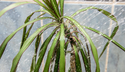 Plant on which runs water from the shower in the bathtub