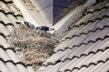 Pigeon builds its nest on top of the house roof.