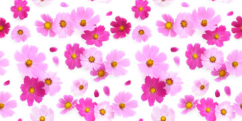 Fototapete - Pink Cosmos flowers isolated on white background, top view, seamless pattern.