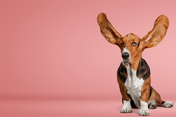 Cute Basset Hound dog on white background
