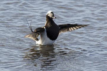 Harelde boréale, Harelde de Miquelon,.Clangula hyemalis, Long tailed Duck