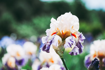 Iris coloré