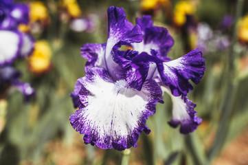 Iris violet et blanc