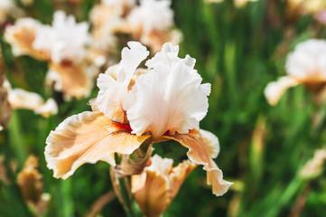 Fleur iris couleur saumon