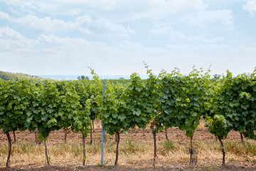 green rows of plants growing on vineyard at countryside in Zajeci, Czech Republic