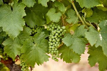 green unripe grapes and leaves at vineyard in Zajeci, Czech Republic