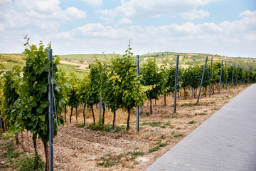 green rows of plants on vineyard at countryside in Zajeci, Czech Republic
