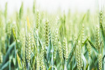 Epis de blé dans un champ