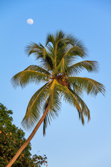 Palm tree with a blue sky and moon in San Juan, Puerto Rico