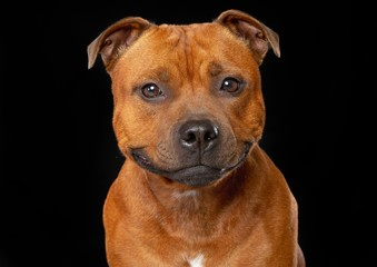 English Staffordshire Bull Terrier Dog  Isolated  on Black Background in studio