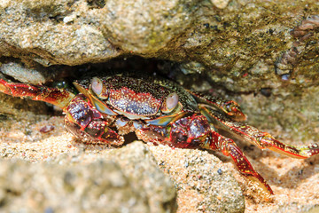 Beautiful crab on the shore on the touristic beach of the tropical island Puerto Rico