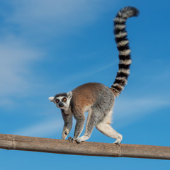 A ring-tailed lemur crossing a bamboo trunk