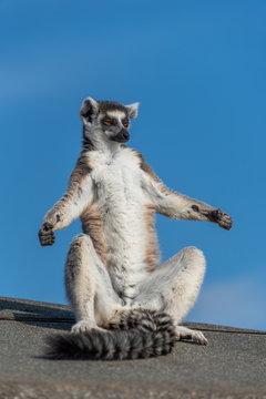 A ring-tailed lemur sun bathing
