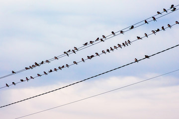 Swallows are sitting on the wires of the power line_