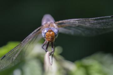 Weibliche Spitzenfleck Libelle - Libellula fulva in einer Makroaufnahme - Frontansicht