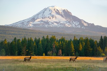 Elk below Mount Adams Fototapete