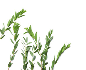 Branches of tropical plant on white background
