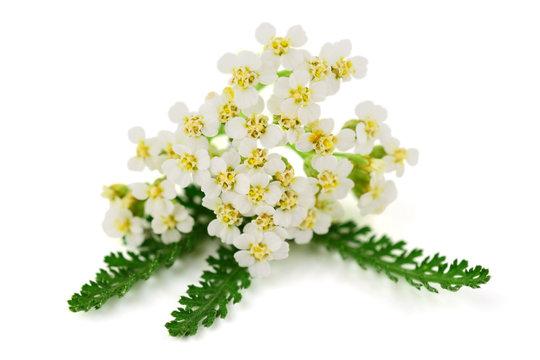Yarrow (Achillea millefolium) Herbal Plant. Isolated on White Background.