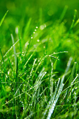 Obraz Green grass with water droplets on the leaves. Lawn. Morning freshness - fototapety do salonu