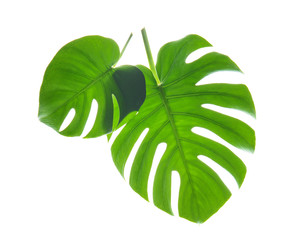 Fresh tropical monstera leaves on white background
