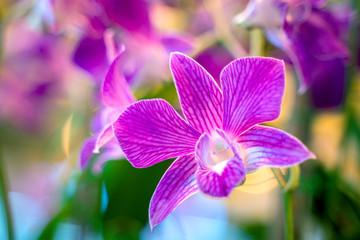 Wall Mural - Beautiful purple phalaenopsis orchids.