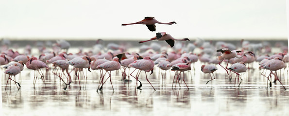 Aluminium Prints Flamingo Colony of Flamingos on the Natron lake.Lesser Flamingo Scientific name: Phoenicoparrus minor. Tanzania Africa.