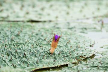 gordon euryale in blooming