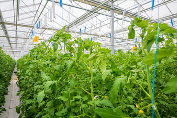 growing vegetables in an industrial greenhouse tomatoes