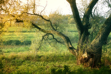 autumn background with old tree in the evening light