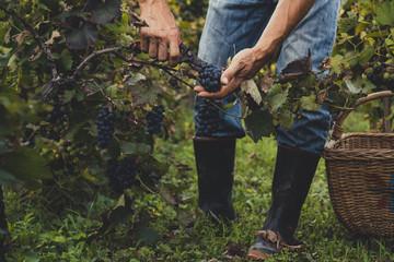 Garden Poster Vineyard Man harvesting black grapes in the vineyard