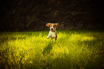 Beagle dog fun on meadow in summer outdoors run and jump towards camera