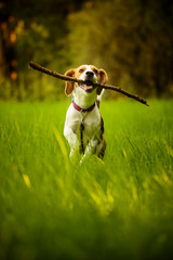 Beagle dog fun on meadow in summer outdoors run and jump with stick in mouth fetching towards camera