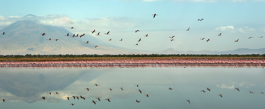 Colony of Flamingos on the Natron lake. Lesser Flamingo Scientific name: Phoenicoparrus minor. Flamingos in the water near the shore of Lake Natron. Colony of flamingos. Panorama. Tanzania.