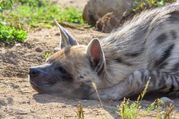 Papiers peints Hyène portrait of a hyena at the zoo