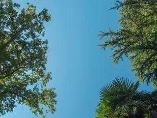 crowns of trees (oak fir and palm) against the cloudless sky