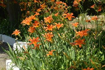 Orange flower daylily, SHRUB GROWING IN the FLOWERBED IN the GARDEN