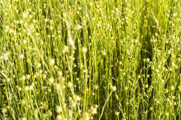 Зреющий лён ярко зелёного цвета освещён летним солнцем