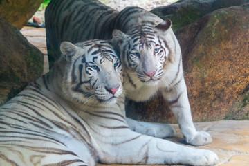 casal de tigres brancos