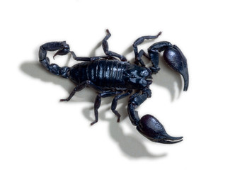 Close up of scorpion