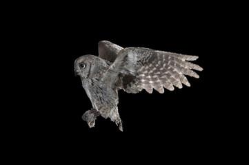 Zelfklevend Fotobehang Uil Eurasian scops owl (Otus scops), flying, high speed photography, in flight at night