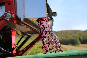 Harvesting grapes by a combine harvester